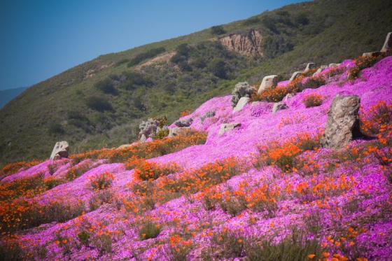 More amazing wildflowers - Big Sur