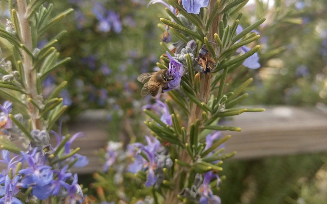 ROSEMARY – MORE THAN REMEMBRANCE